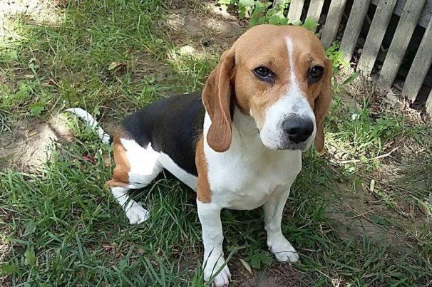 beagle entlaufen gestohlen zugelaufen beagle in not. Black Bedroom Furniture Sets. Home Design Ideas